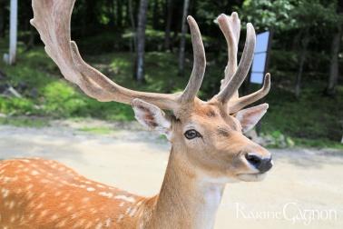 White tailed deer-Cerf de Virginie