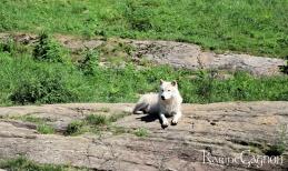 Arctic Wolf-Loup de l'Arctique