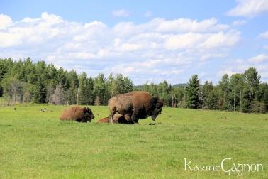 Buffalo-Bisons