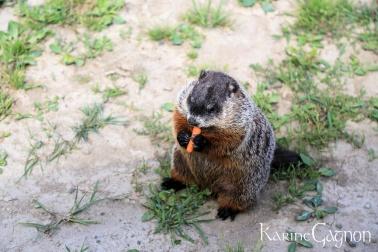 Groundhog-Marmotte