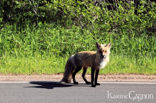 A red fox in PEI National Park