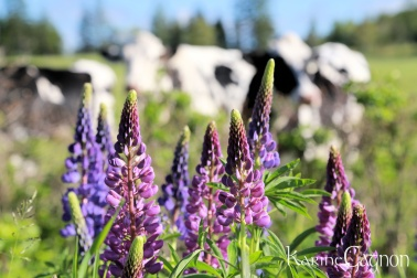 Lupins!
