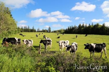 Holstein cows out to pasture are as common as lupins in PEI