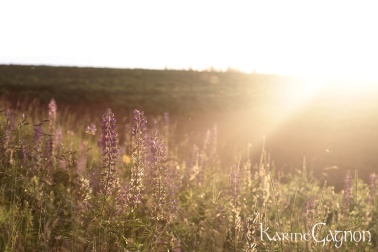 Late June Lupins at sunset