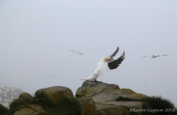 A Northern Gannet preparing to take flight.