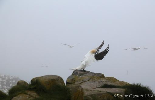 A Northern Gannet preparing to take flight.
