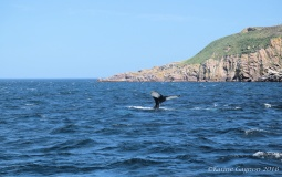 One of many Humpback Whales seen on our whale and bird watching tour