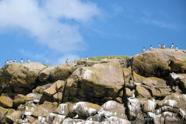 Seabirds on a cliff in Witless Bay Ecological Reserve