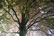 A beautiful ancient oak in the National Botanic garden's arboretum