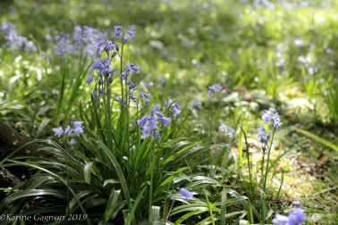 Tiny bluebells on the grounds of the National Botanic Gardens in Dublin