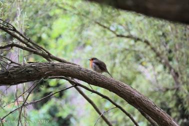 A tiny European Robin on the grounds of Malahide Castle