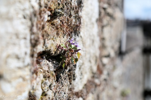 A tiny flower growing out of a stone wall at Elizabeth Fort, in Cork